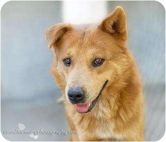 Cattle Dog Mix Dog for adoption in Phoenix, Arizona - GINGER