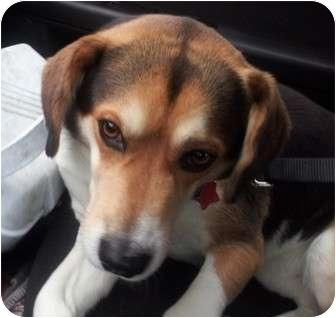 Beagle/Husky Mix Dog for adoption in Berea, Ohio - Scratch-Courtesy Post