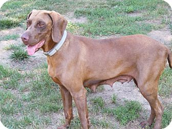 Vizsla/Weimaraner Mix Dog for adoption in Toledo, Ohio - LUCY #6