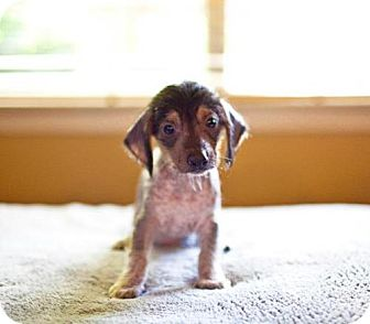 Chinese Crested/Dachshund Mix Puppy for adoption in Houston, Texas - Sammy