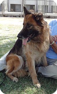 German Shepherd Dog Dog for adoption in Phoenix, Arizona - Zoey Von Wolfsberg