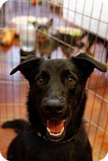Flat-Coated Retriever Mix Dog for adoption in Chandler, Arizona - Jack