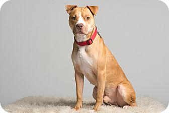 Pit Bull Terrier/Terrier (Unknown Type, Medium) Mix Dog for adoption in Baton Rouge, Louisiana - Gus