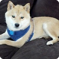 Adopt A Pet :: Daiki - Centennial, CO