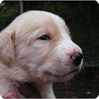 Adopt A Pet :: Winston - Rigaud, QC