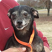Italian Greyhound/Terrier (Unknown Type, Small) Mix Dog for adoption in Rochester, New York - Ester