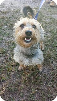 Australian Terrier/Yorkie, Yorkshire Terrier Mix Puppy for adoption in Waldorf, Maryland - Amour