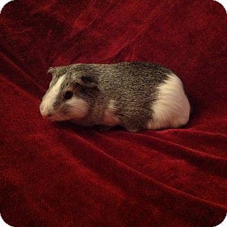 Guinea Pig for adoption in Williston, Florida - Mason