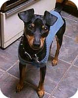 Miniature Pinscher Puppy for adoption in Nashville, Tennessee - Domino