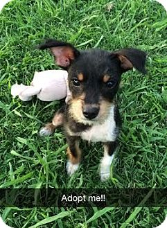 Wirehaired Fox Terrier/Terrier (Unknown Type, Small) Mix Puppy for adoption in Knoxville, Tennessee - Jax