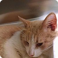 Adopt A Pet :: Creamsicle - Armuchee, GA