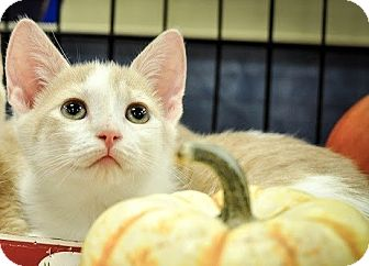 Manx Kitten for adoption in Gainesville, Florida - Slade