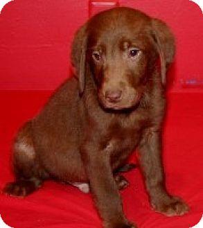 Labrador Retriever Mix Puppy for adoption in Newburgh, Indiana - Phoenix