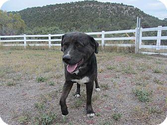 Australian Cattle Dog/Rottweiler Mix Dog for adoption in Ridgway, Colorado - Zeus