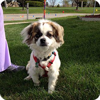 Pekingese Dog for adoption in Bloomington, Illinois - Brodie