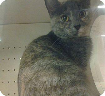 Domestic Shorthair Cat for adoption in Northfield, Ohio - Mandy
