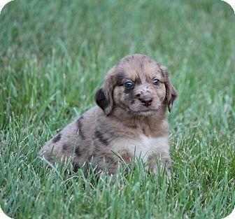 Australian Shepherd/Labrador Retriever Mix Puppy for adoption in Yadkinville, North Carolina - Snicker Doodle