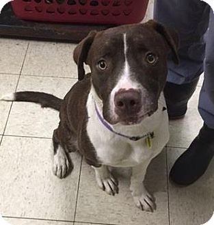 Boxer/Border Collie Mix Dog for adoption in Fulton, Missouri - Henry- Ohio