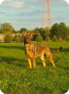 German Shepherd Dog Dog for adoption in Kouts, Indiana - Rueger