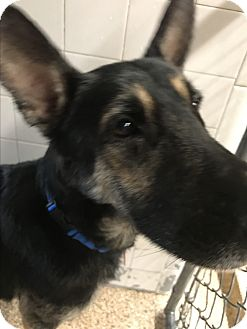 German Shepherd Dog Dog for adoption in Littleton, Colorado - WERNER