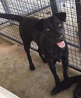 Labrador Retriever/Shepherd (Unknown Type) Mix Dog for adoption in Lewisburg, Tennessee - Tar Heel