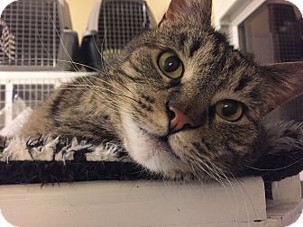 Domestic Shorthair Cat for adoption in Gunnison, Colorado - Luna