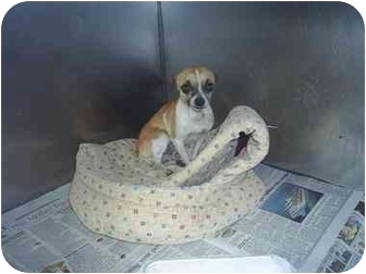 Chihuahua Dog for adoption in Greenville, Alabama - Little Man