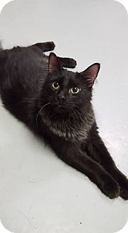 Domestic Longhair Cat for adoption in Fort Riley, Kansas - Pippa