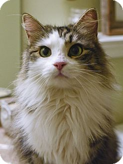 Domestic Longhair Cat for adoption in Huntsville, Alabama - Prissy