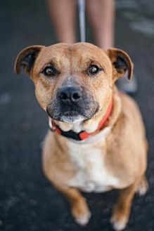 Pit Bull Terrier Mix Dog for adoption in Fresno CA, California - Mr. Pibb