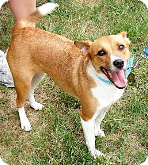 Jack Russell Terrier Dog for adoption in Winfield, Pennsylvania - Butters