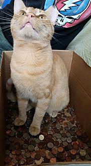 Domestic Shorthair Cat for adoption in Bryn Mawr, Pennsylvania - Garfield/dog alike personality