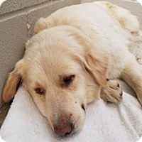 Adopt A Pet :: Clover - Kyle, TX