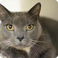 Domestic Shorthair Cat for adoption in Scituate, Massachusetts - Smokey
