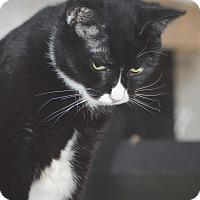 Adopt A Pet :: Miss Tuxedo Girl - Brooklyn, NY