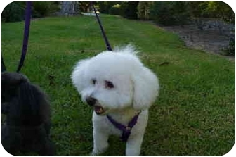 Bichon Frise/Poodle (Toy or Tea Cup) Mix Dog for adoption in La Costa, California - Bo and Peppy