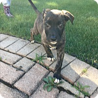 Adopt A Pet :: Eevee - Hainesville, IL