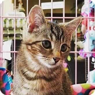 Domestic Shorthair Kitten for adoption in Columbus, Ohio - India