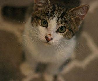 Domestic Shorthair Kitten for adoption in Canoga Park, California - Alphie