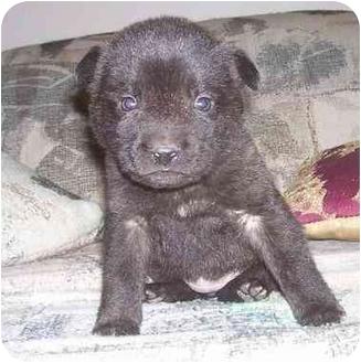 Mastiff/Boxer Mix Puppy for adoption in Evansville, Indiana - Mini