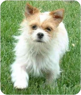 Brussels Griffon Dog for adoption in Northville, Michigan - Peaches