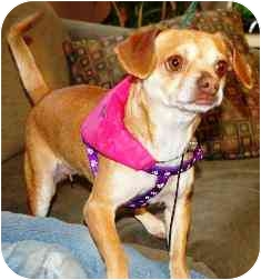 Chihuahua Mix Dog for adoption in Osseo, Minnesota - Muffin