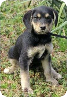 German Shepherd Dog Mix Puppy for adoption in Spring Valley, New York - Chelsea