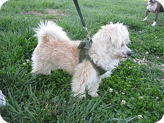 Poodle (Miniature)/Pomeranian Mix Dog for adoption in Indianapolis, Indiana - Einstein