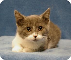 Domestic Shorthair Cat for adoption in Sacramento, California - Ruby