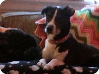 Border Collie Mix Dog for adoption in Richmond, Virginia - Buck