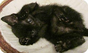 Domestic Shorthair Kitten for adoption in Seminole, Florida - Dino