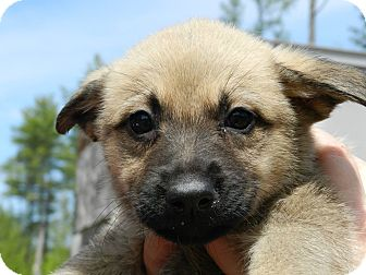 German Shepherd Dog Mix Puppy for adoption in Clinton, Maine - German Shepherd Puppies