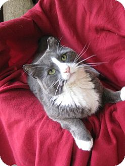 Domestic Shorthair Cat for adoption in Bloomsburg, Pennsylvania - Gordon
