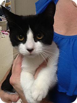 Domestic Shorthair Kitten for adoption in Webster, Massachusetts - Mustard